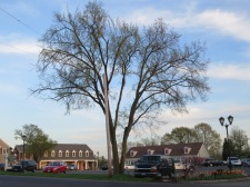 This double-trunk elm still shows the American Elm shape. The branches just start closer to the ground.
