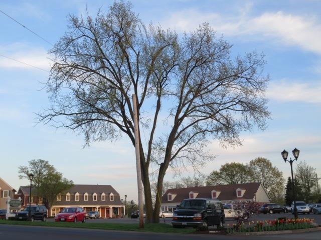 Shape Is Key To Identifying American Elm | WunderWoods