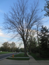 American Elms used to line the sidewalks before Dutch Elm disease. Imagine whole neighborhoods with American Elms on both sides creating an arch over the road.